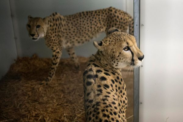 Cheetahs inside an enclosure that zookeepers say will be able to weather Hurricane Irma.