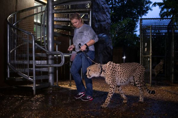 Senior keeper Jennifer Nelson walks a cheetah to a shelter.