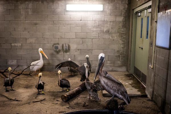 Brown pelicans and an American white pelican inside a shelter.