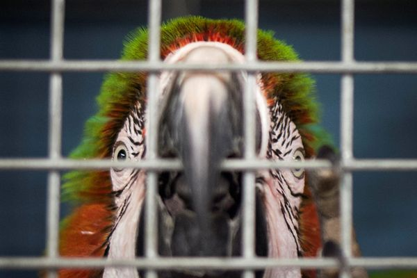 A macaw looks out of a shelter cage.