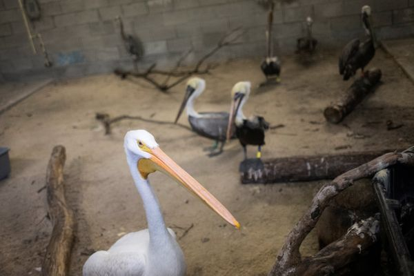 Brown pelicans and an American white pelican take shelter at Zoo Miami.