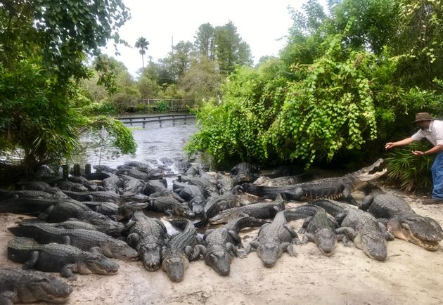 Dozens of alligators are seen basking in the sun along a shore at Gatorland in Orlando,