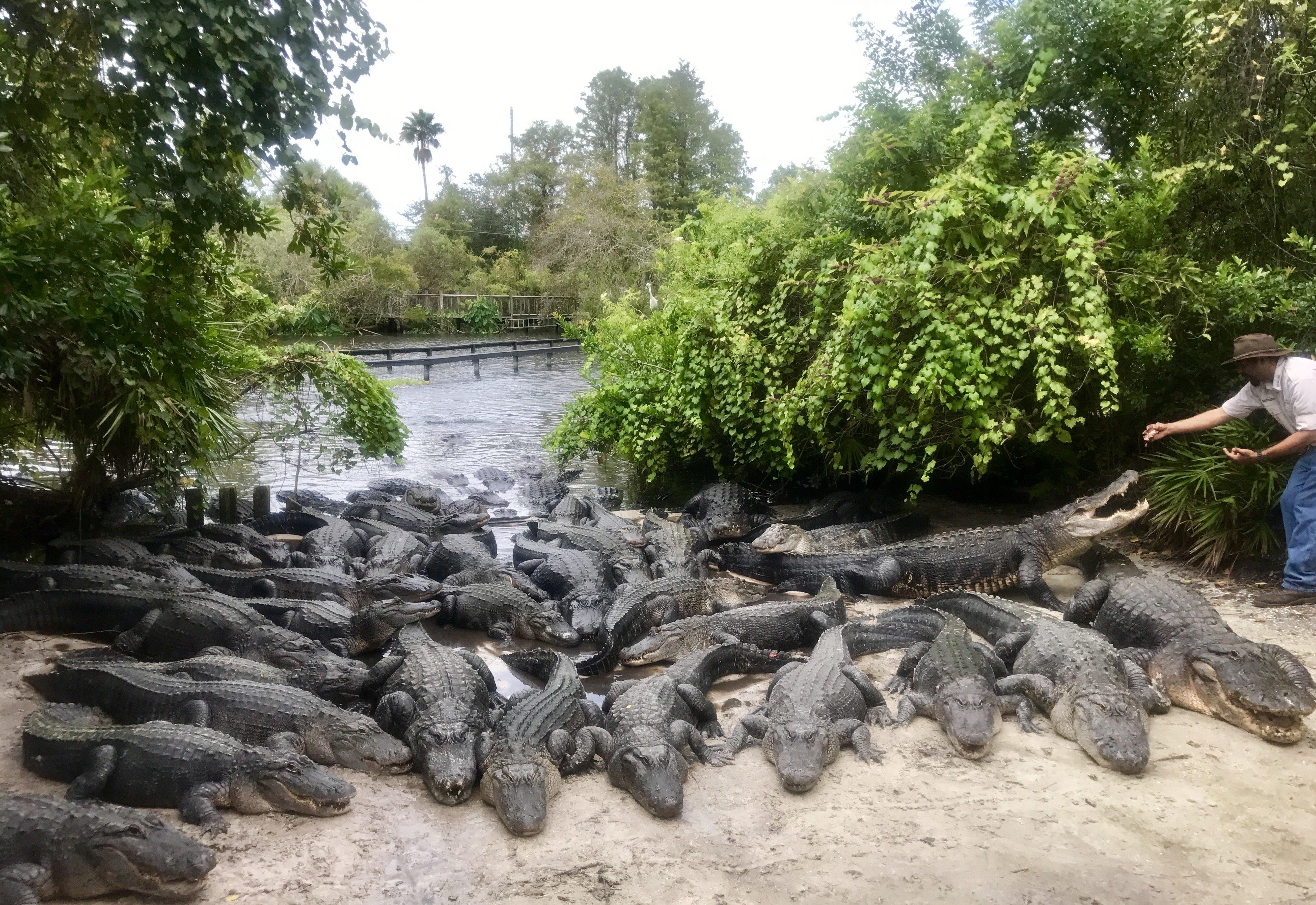 Gator Park Preps 2,000 Alligators For Irma, Promises None Will