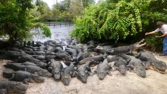 Dozens of alligators are seen basking in the sun along a shore at Gatorland in Orlando Florida