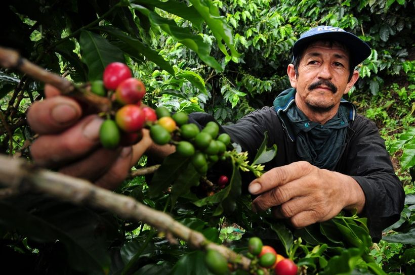 A coffee farmer picks fresh coffee cherries in Colombia.