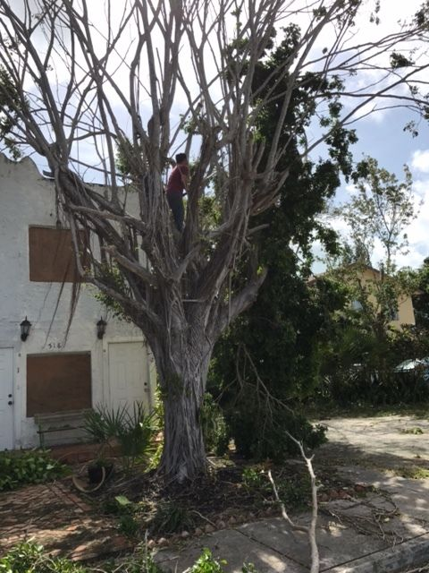 <em>My neighbor, Randall, cuts some broken limbs of my old ficus tree, day after Irma. </em>