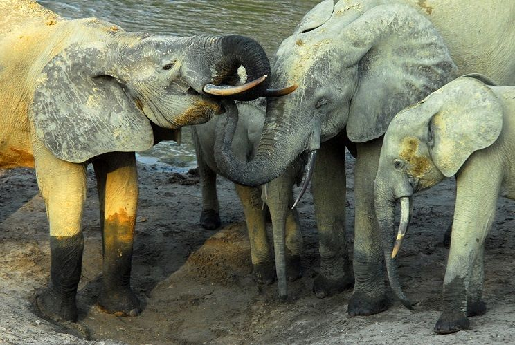 <em>As many as 96 elephants are killed every day in Africa for their ivory.</em>