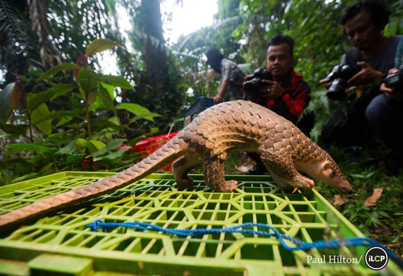 <em>One of 96 pangolins confiscated from illegal wildlife traffickers in Medan, Indonesia in 2015. </em>