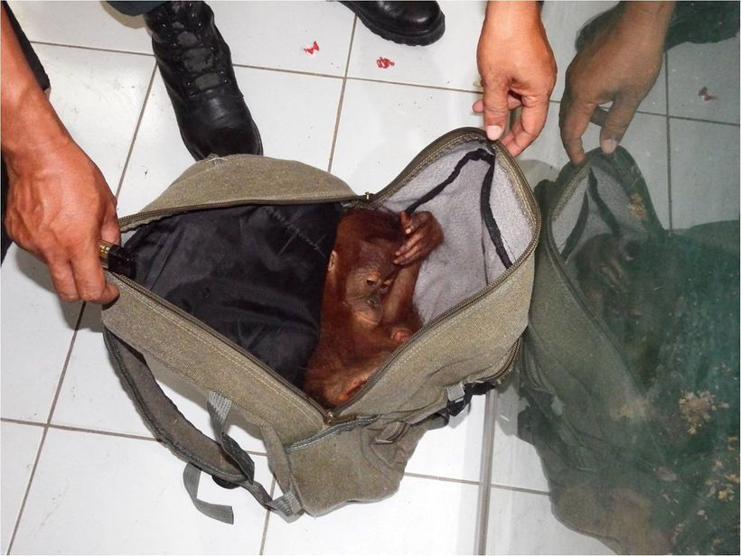 <em>Airport confiscation of illegally traded infant orangutan.</em>