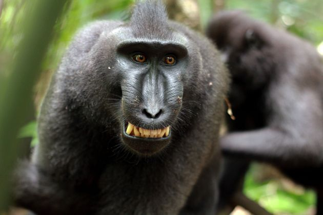 25% of proceeds from sales will be donated to charities dedicated to protecting crested macaques in Indonesia...
