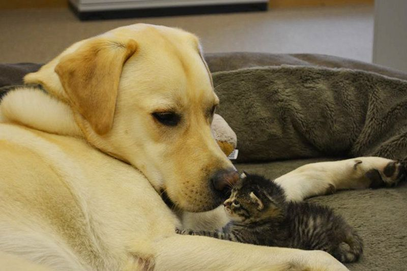 Adorable Labrador Becomes Foster Dad To Five-Week-Old Rescue
