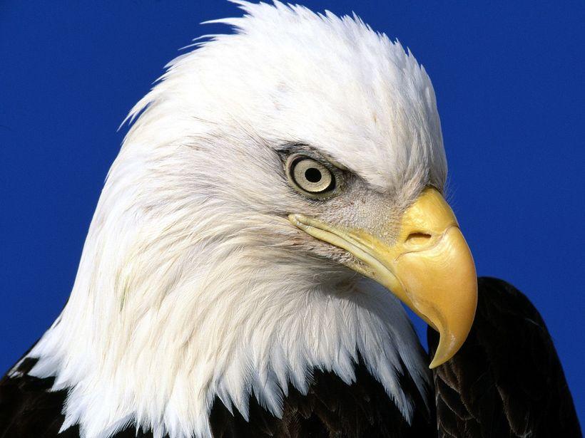 "<a rel=""nofollow"" href=""http://flying-animal.blogspot.com/2011/10/bald-eagle.html"" target=""_blank"">Bald Eagle</a>"