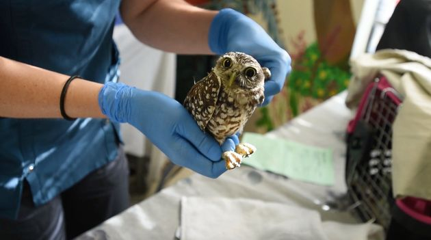 A burrowing owl is treated for a suspected injured wing at the South Florida Wildlife Center in Fort