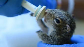 A baby squirrel is seen being bottle fed