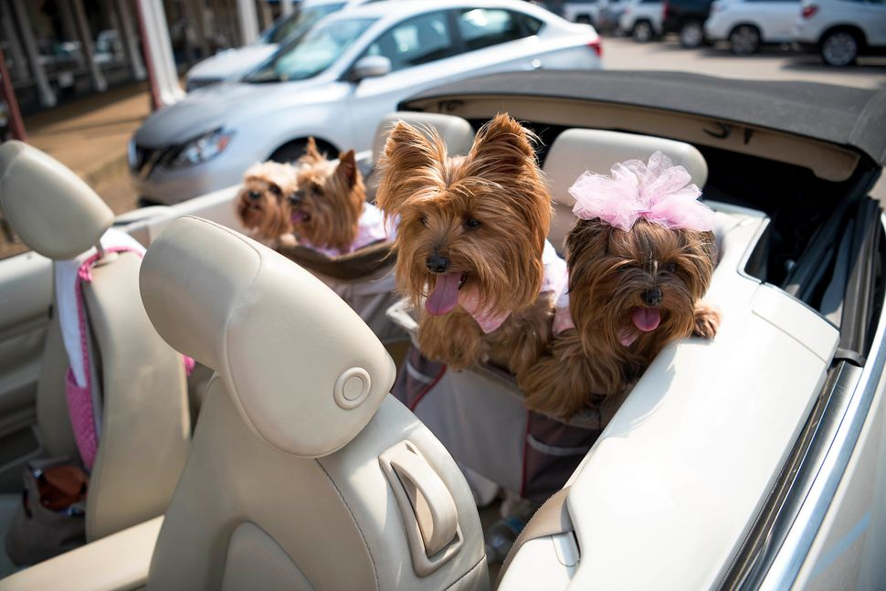 Barbie Gates, a pet nanny, takes some dogs for a ride in the back of her Volkswagon Beetle.