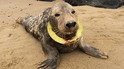 Seal Enjoys Freedom After Six Months Of Frisbee Stuck Around