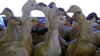 A photo taken on January 17, 2017 shows ducks at a farm where they are force-fed for the production of foie gras in Castelnau-d'Auzan. / AFP / ERIC CABANIS        (Photo credit should read ERIC CABANIS/AFP/Getty Images)