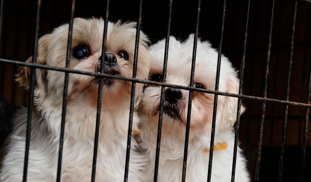 These two Shih Tzus were rescued from a puppy mill and brought to the Toronto Humane Society in