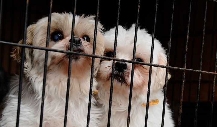These two Shih Tzus were rescued from a puppy mill and brought to the Toronto Humane Society in 2013.
