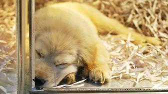 Golden retriever puppy in pet shop window.