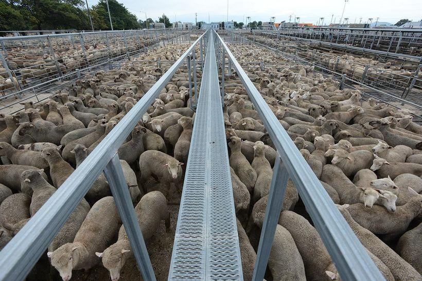 "Sheep In A Sale Yard. Ballarat, Australia, 2013. J<a rel=""nofollow"" href=""http://www.weanimals.org/"" target=""_blank"">o-Anne M"