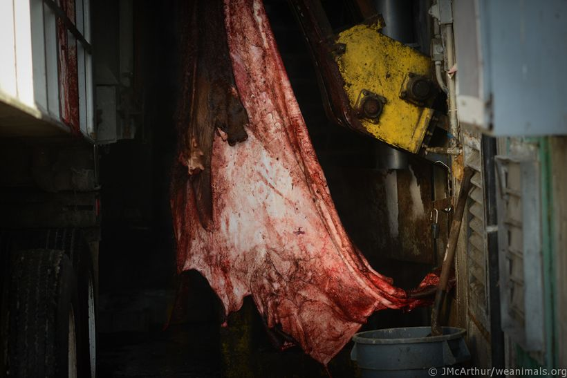 "Bovine (cow) leather being processed. <a rel=""nofollow"" href=""http://www.weanimals.org/"" target=""_blank"">Jo-Anne McArthur &#x"