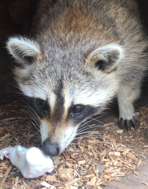 Returning a raccoon home | HuffPost on fish homes, weasel homes, lyon homes, otter homes, skunk homes, spider homes, muskrat homes, monkey homes, cats homes, fire ant homes, bunny homes, chimp homes, gorilla homes, hedgehog homes, lizard homes, hummingbird homes, mouse homes, fisher homes, coyote homes,