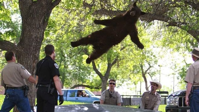 A bear falls from a tree after being tranquilized by Colorado wildlife officials on the University of Colorado, Boulder campu
