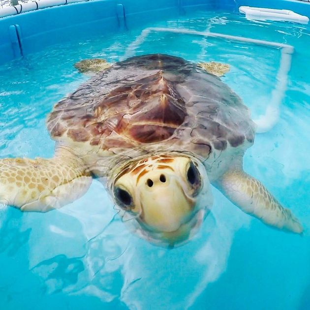 The Turtle Hospital is the world's first licensed veterinarian hospital dedicated entirely to serving