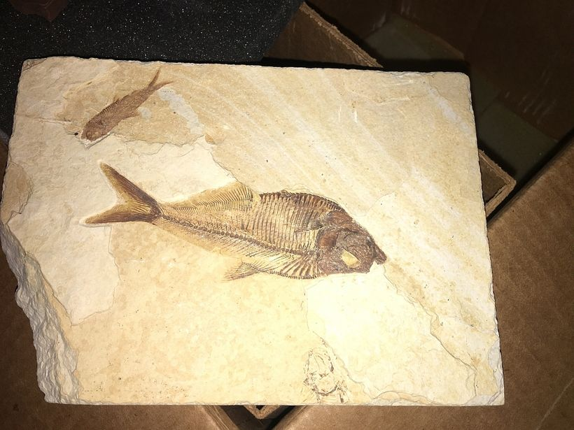 Green River Fish fossil that I acquired several years ago originating from a site in southwestern Wyoming. These fossils are