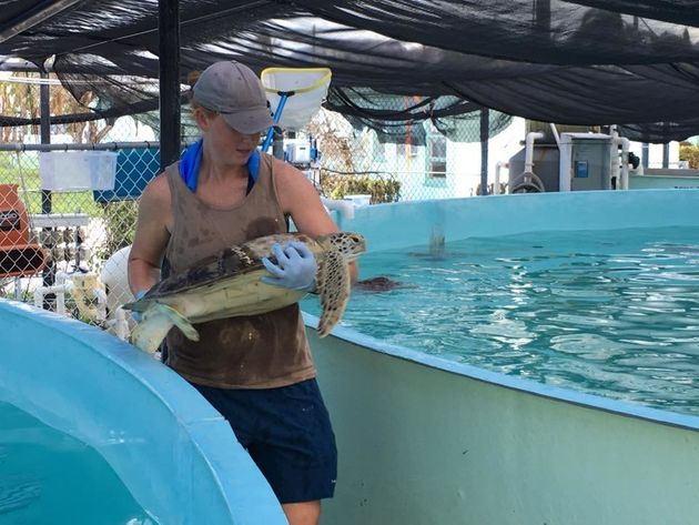 Most of the turtles at the hospital typically reside in an outdoor tidal pool. Before Hurricane Irma...