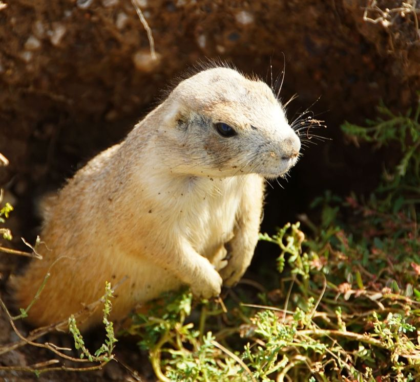 Prairie Dogs were ever present. They are a scourge because cattle could fall into the holes and break their legs. Out here th