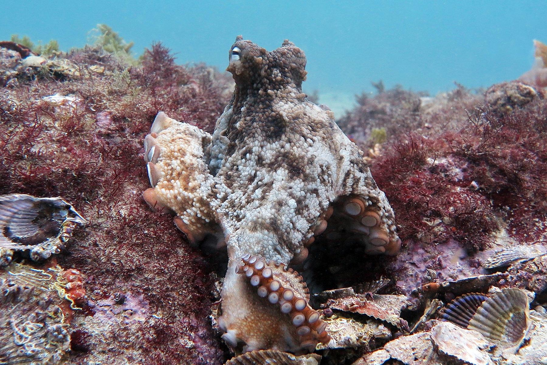 A gloomy octopus.