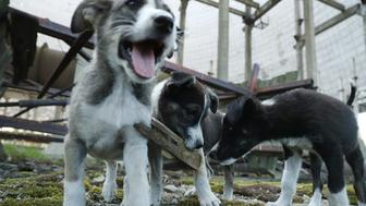 CHORNOBYL, UKRAINE - AUGUST 18:  Stray puppies play in an abandoned, partially-completed cooling tower inside the exclusion zone at the Chernobyl nuclear power plant on August 18, 2017 near Chornobyl, Ukraine. An estimated 900 stray dogs live in the exclusion zone, many of them likely the descendants of dogs left behind following the mass evacuation of residents in the aftermath of the 1986 nuclear disaster at Chernobyl. Volunteers, including veterinarians and radiation experts from around the world, are participating in an initiative called The Dogs of Chernobyl, launched by the non-profit Clean Futures Fund. Participants capture the dogs, study their radiation exposure, vaccinate them against parasites and diseases including rabies, tag the dogs and release them again into the exclusion zone. Some dogs are also being outfitted with special collars equipped with radiation sensors and GPS receivers in order to map radiation levels across the zone.  (Photo by Sean Gallup/Getty Images)