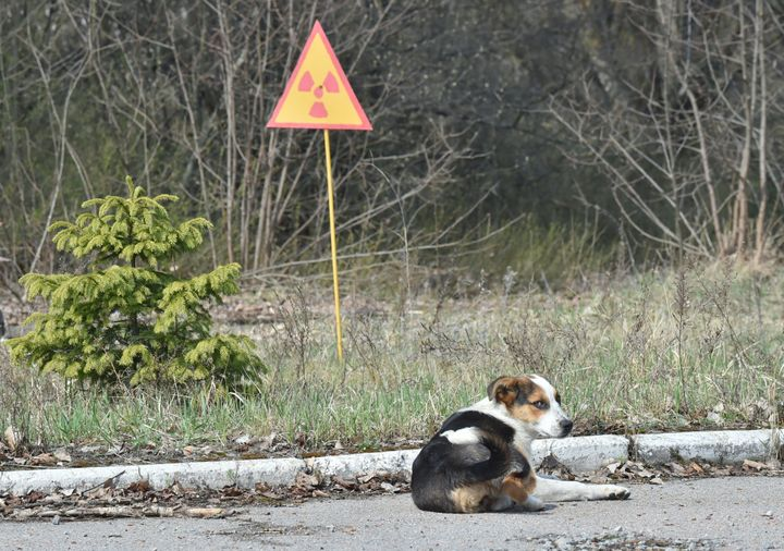 A dog is seen next to a sign of radioactivity in the abandoned city of Prypyat near Chernobyl Nuclear Power Plant on Apr
