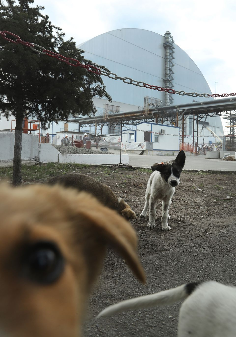 "Stray dogs loiter inside the high-security ""local zone"" outside the new, giant enclosure that covers devastated reactor numbe"