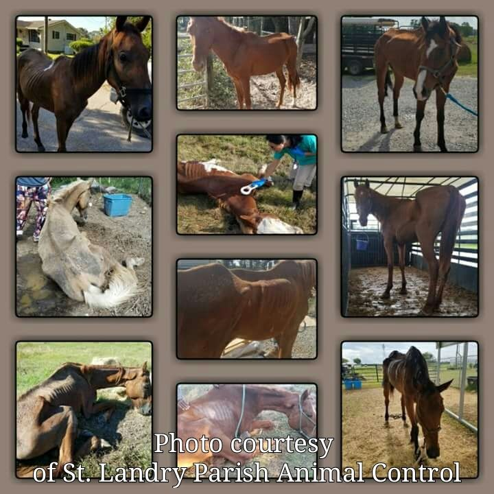 Neglected horses assisted by Saint Landry Parish Animal Control