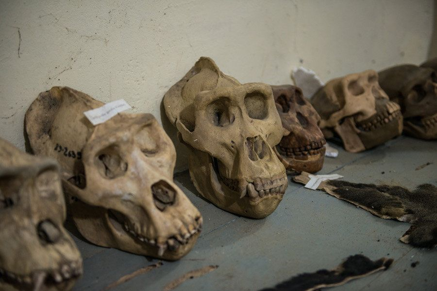 Skulls collected from expeditions conducted by the Congo Biodiversity Initiative are seen on display in the organization's mu