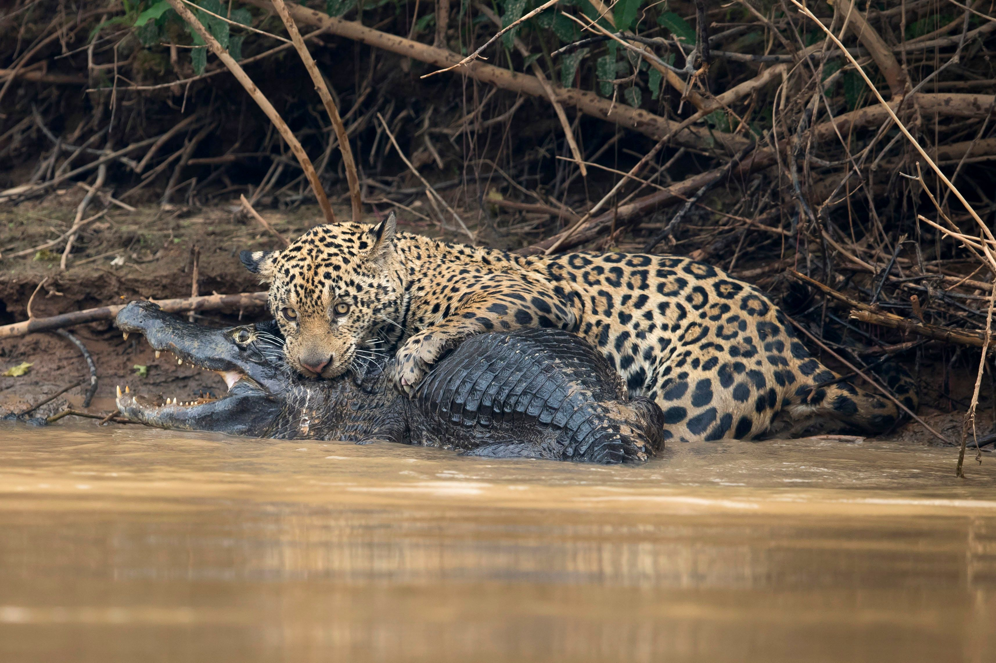 PORTO JOFRE, BRAZIL - SEPTEMBER 26: A jaguar ambushes a giant jacare caiman high up on the Three Brothers River in the Pantanal in Mato Grosso, Brazil. The cat wrestled with the reptile for over twenty minutes in a death struggle witnessed by photographer Chris Brunskill just after ten o'clock in the morning on the 26th of September, 2017. Caimans form a large part of the jaguar's diet in the Pantanal but battles such as this are very rarely observed and seldom photographed. (Photo by Chris Brunskill Ltd/Getty Images)