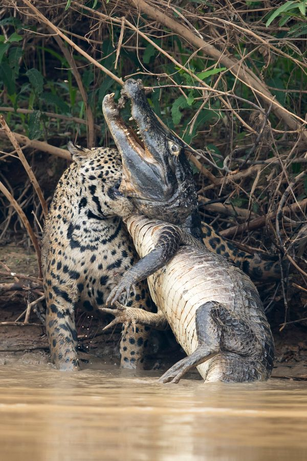 Caimans form a large part of the jaguar's diet in the Pantanal but battles such as this are very rarely observed and seldom p