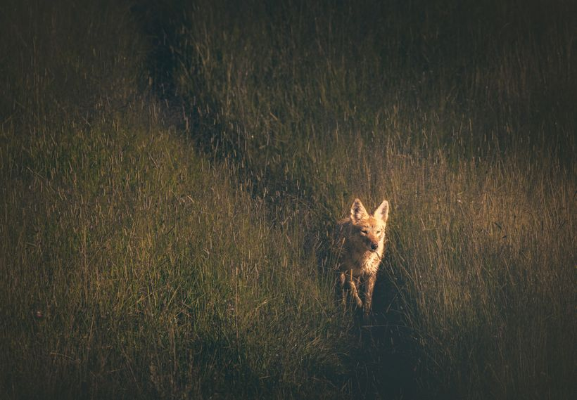 Coyote Hunting in Hayden Valley
