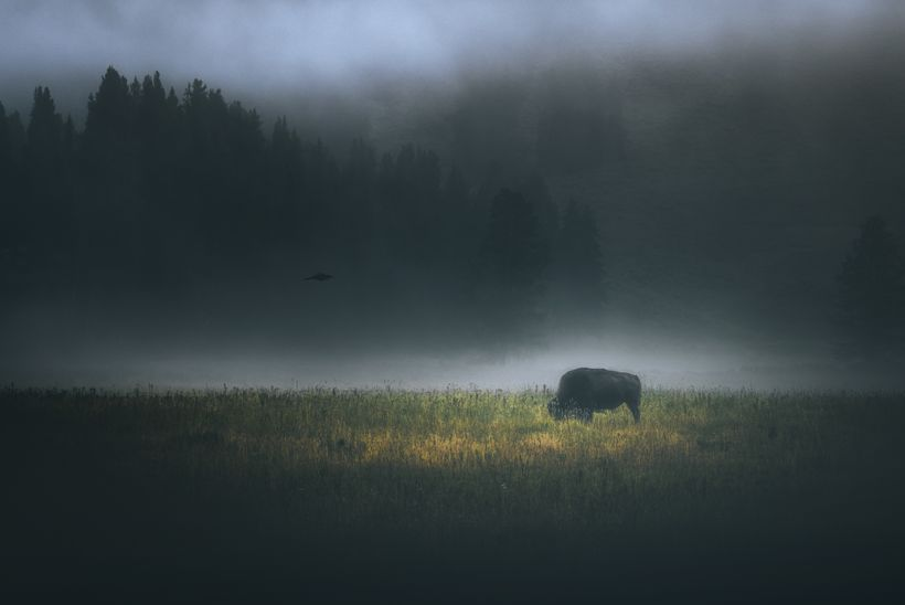 Bison grazing in a foggy meadow