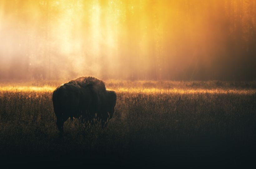 A Bull Bison at Sunrise in Hayden Valley