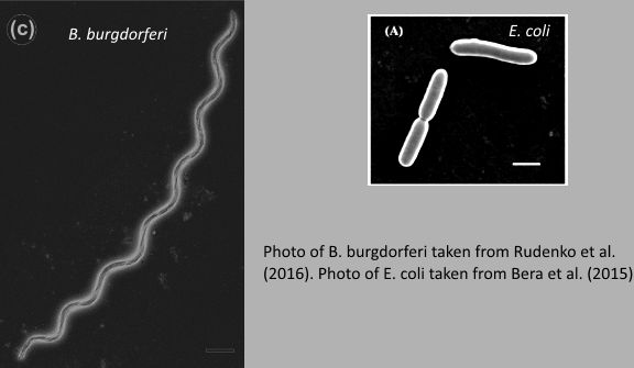 Comparison of the Lyme bacteria and more commonly known <em>E.coli</em>