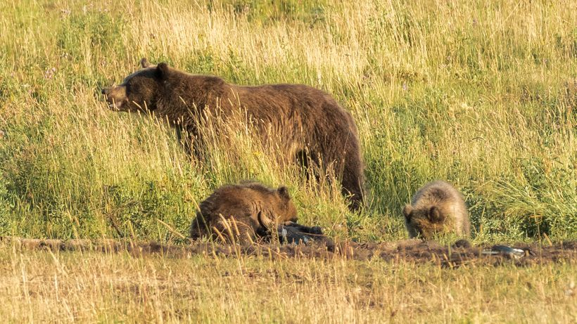 Grizzly Sow and her 2 cubs