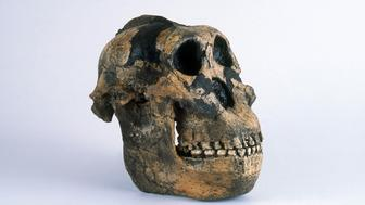 "Resin cast of Paranthropus boisei (originally called Zinjanthropus boisei and then Australopithecus boisei), known as ""Nutcracker Man,"" a hominid that lived in Africa around 1.75 million years ago. It was found by Mary Leakey in the Olduvai Gorge, Tanzania, in 1959."