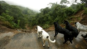 Dogs stand near on a road partially collapsed by heavy rains of Tropical Storm Nate that affects the country in El Llano de Alajuelita, Costa Rica October 5, 2017. REUTERS/Juan Carlos Ulate