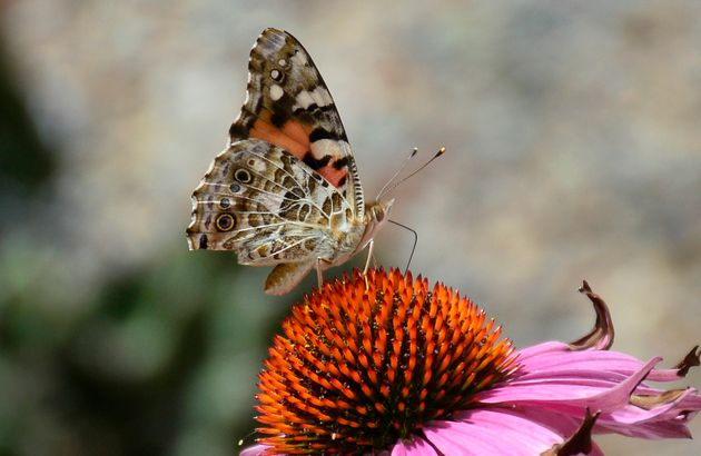 The culprits were identified as painted lady butterflies by people on