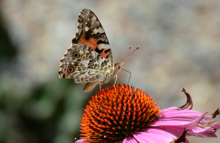 The culprits were identified as painted lady butterflies by people on Twitter.