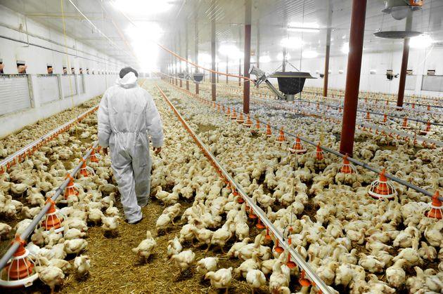 Inside a poultry